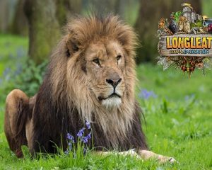 The lions at Longleat are a popular family day out from Somerset Manor